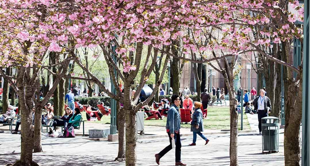 Students walk through MetroTech Commons with pink flower filled trees